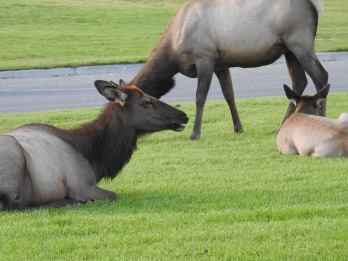 Elk Resting in Yellowstone