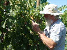 Picking Grapes with Bob