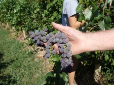 Grapes from Tongue River